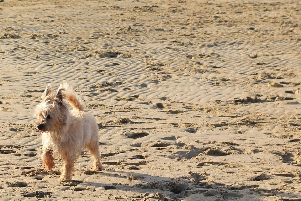 Cairn, Terrier, Dog, Beach, Sand, Beige, Run, Action