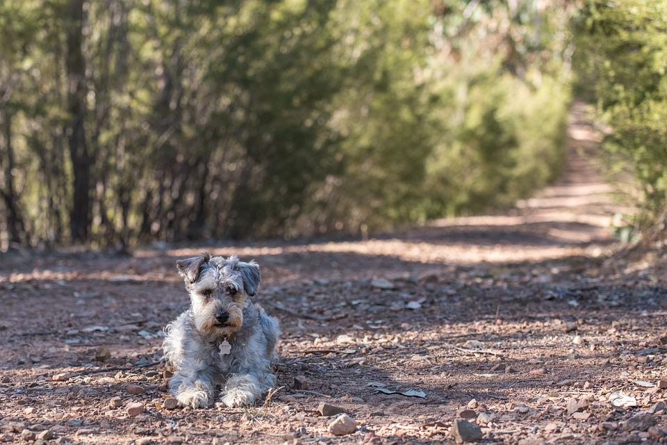 Schnoodle, Dog, Canine, Mixed Breed, Scruffy, Cute