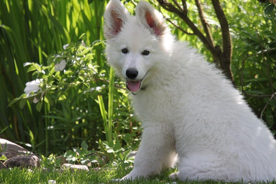Dog, Puppy, Swiss White Shepherd Dog, Pet, Cute, Sit
