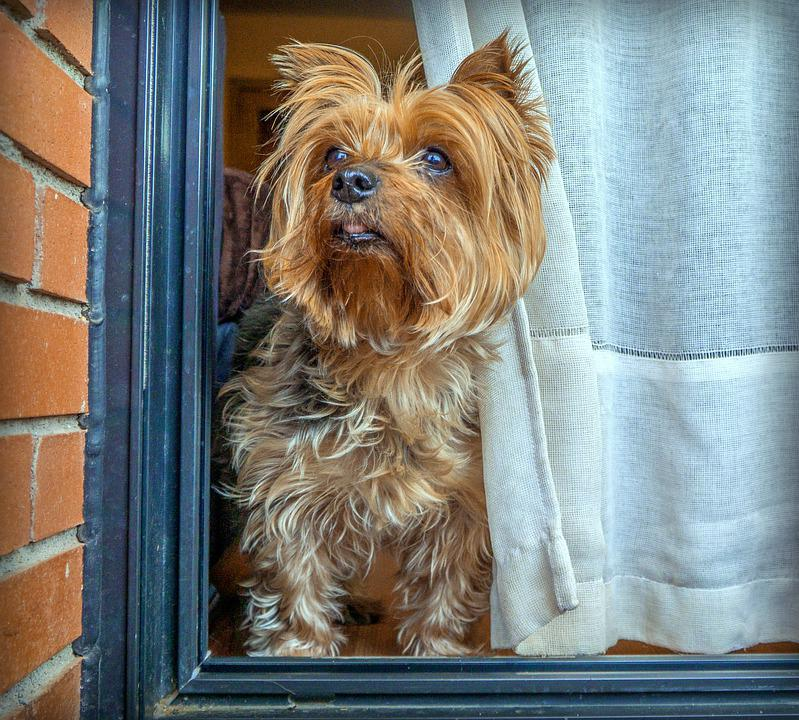 Dog, Yorkshire, Terrier, Small, Pets, Playful, Mammals