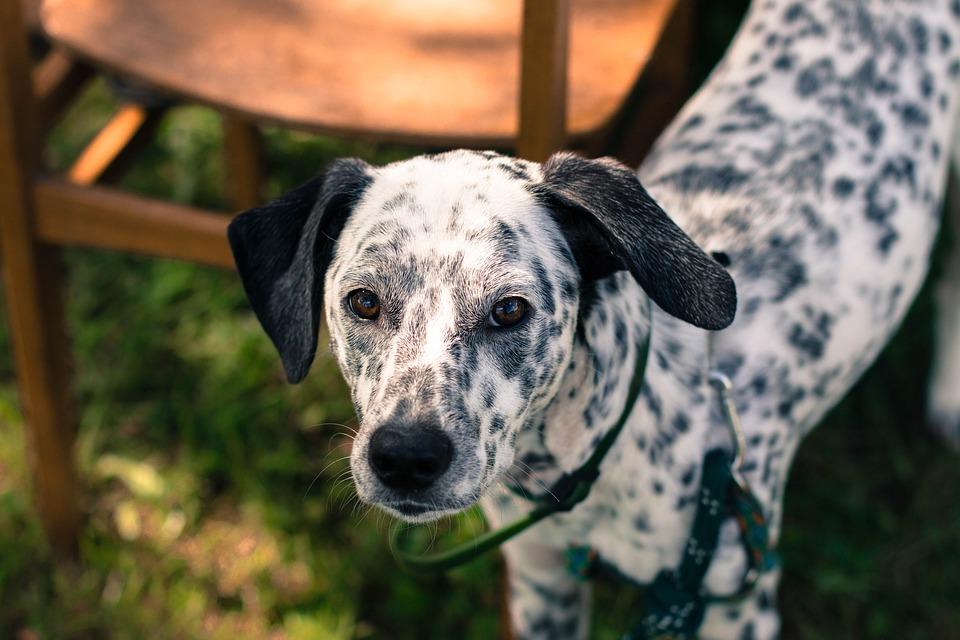 Dog, Dalmatian, Spots, Black And White, Black Ears