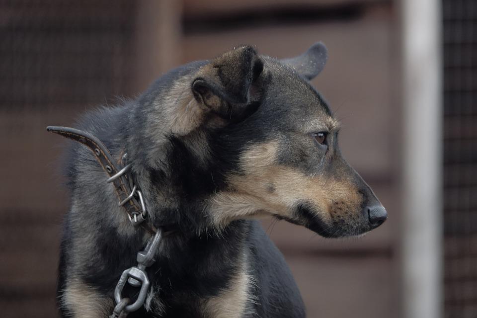 Dog, Chain, Collar, Stand By, Sorrow, Animals, Longs