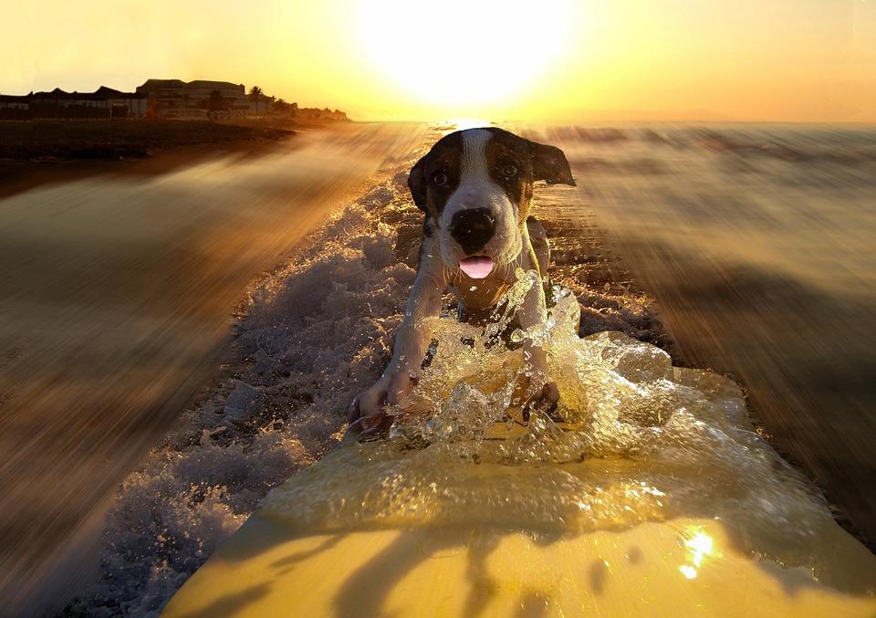 Dog, Surf, Sport, Courage, Fun, Speed, Sunset, Sea