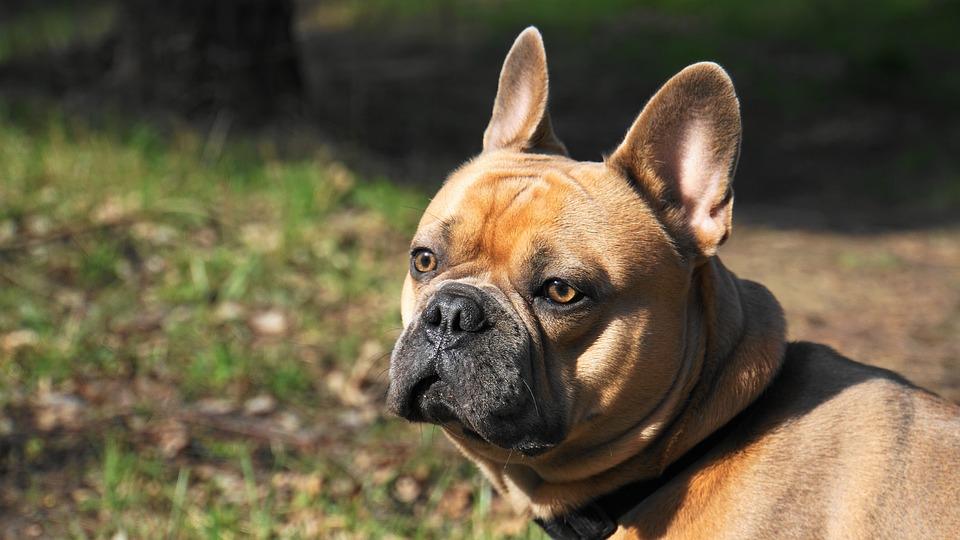 French Bulldog, Dog, Pet, Cute, Charming, Sweet, Friend