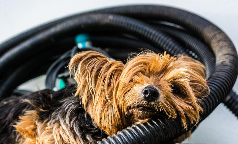 Yorkshire Terrier, Terrier, Dog, Small, Tired, Rest