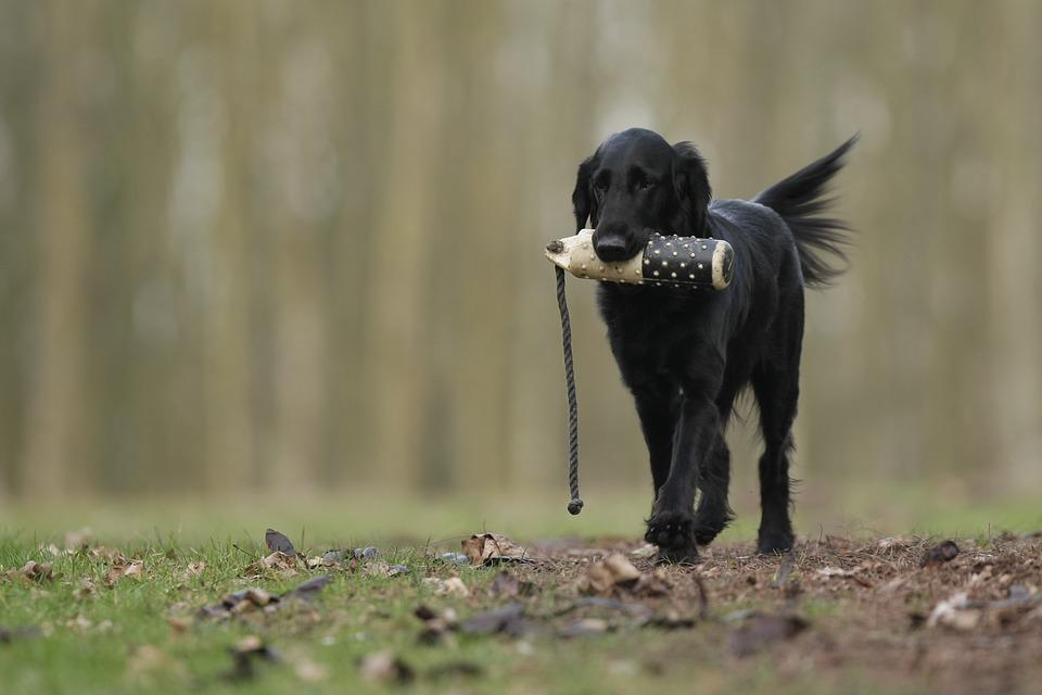 Dog, Flatcoated Retriever, Hunting, Training