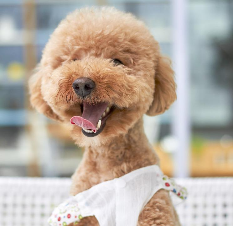 Free photo Dog Variety Poodle Small Paste Outdoor Smile ...