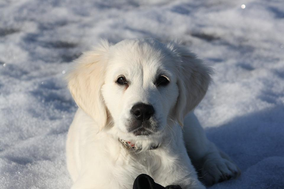 Golden Retriever, Puppy, Dog, Young, Snow, Watching