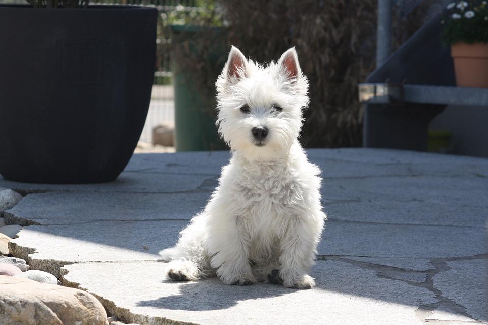 West-highland-terrier, Puppy, Dog