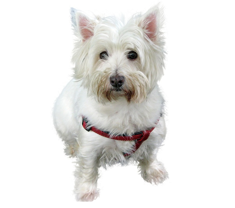 Westhifhland Terrier, Terrier, Dog, White, Close