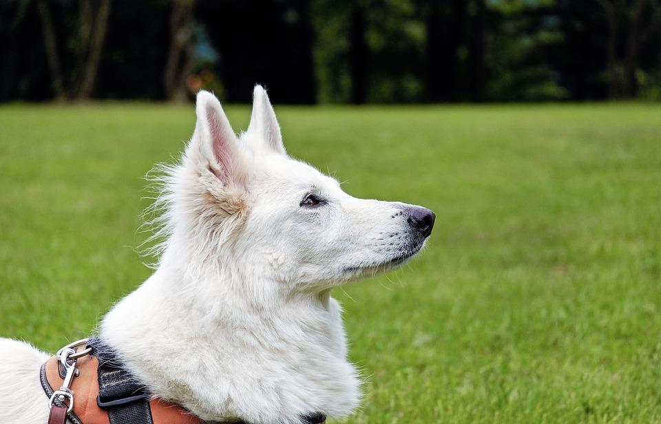 Dog, Swiss Shepherd Dog, White, Animal, Portrait