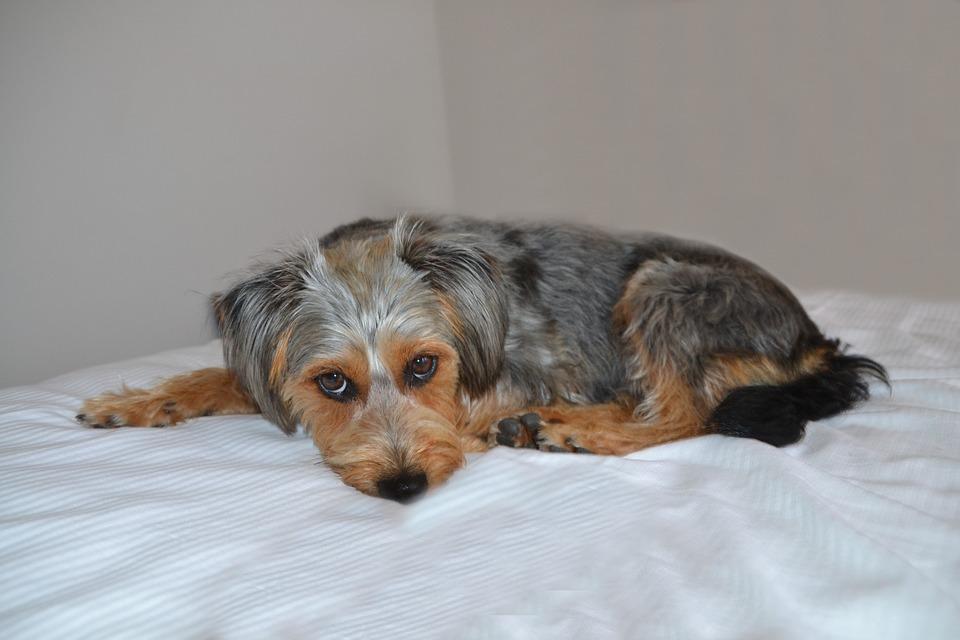 Dog, Dog On Beach, Hybrid, Wiener Yorkshire, Animal