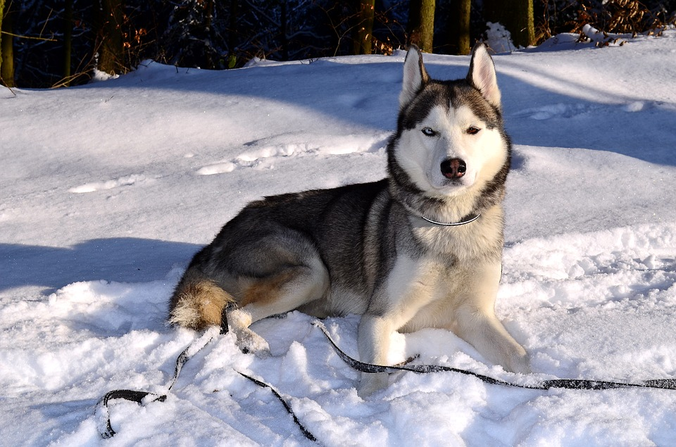 Husky, Dog, Siberian Husky, Animal, Snow, Winter, Sunny