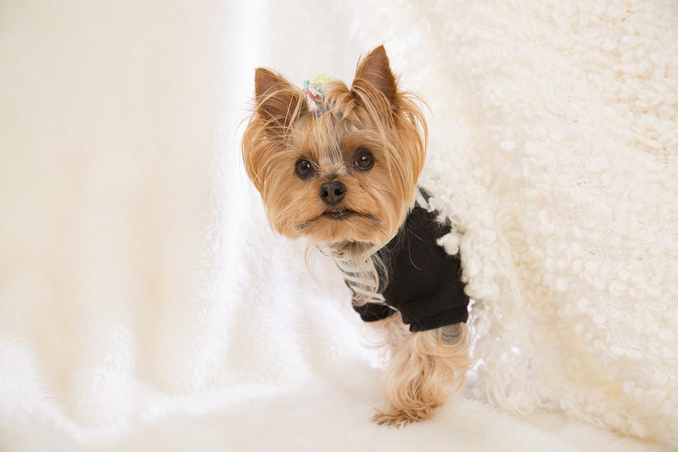 Yorkie, Dog, Yorkshire, Yorkshire Terrier, Pet, Cute