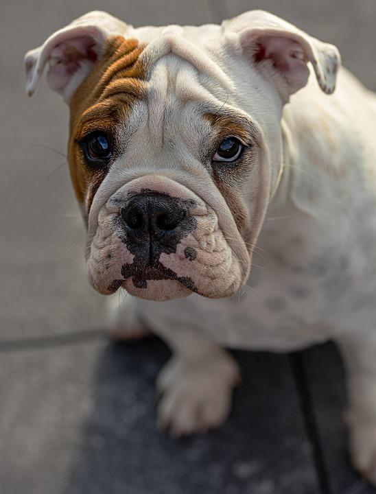 English Bull Doge, Dog, Pet, Puppy, Young