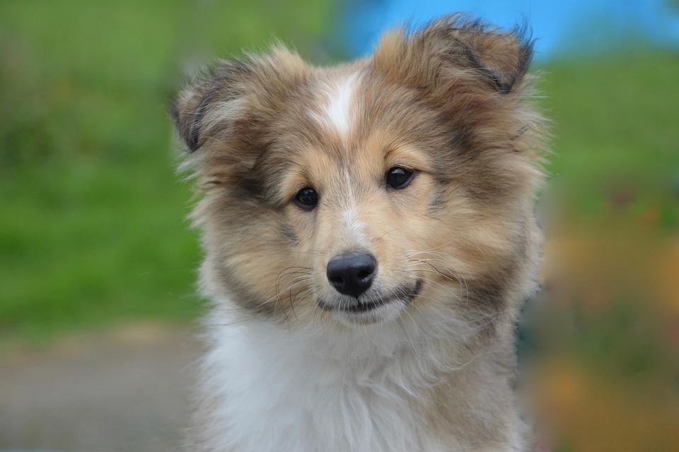 Shetland Sheepdog, Young, Puppy, Dog, Female, Animal