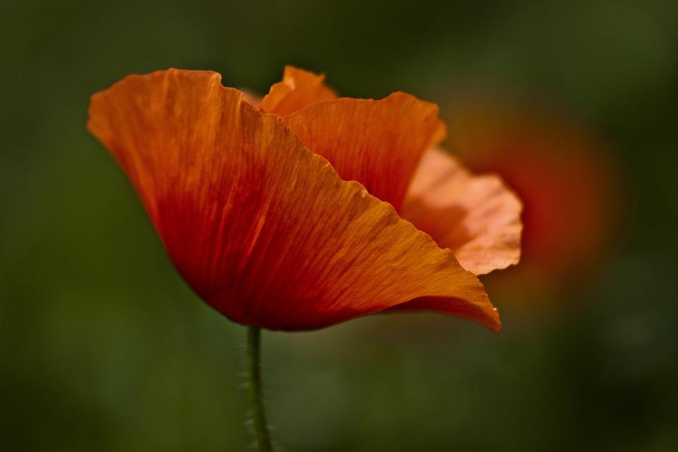 Papaver Rhoeas, Red, Green, Flower, Macro, Doga