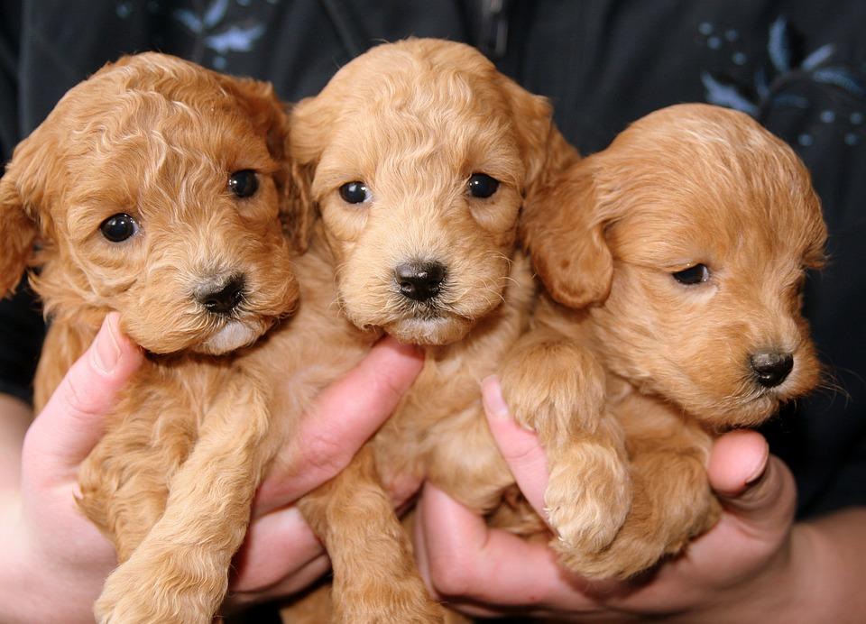 Puppies, Golden, Doggies