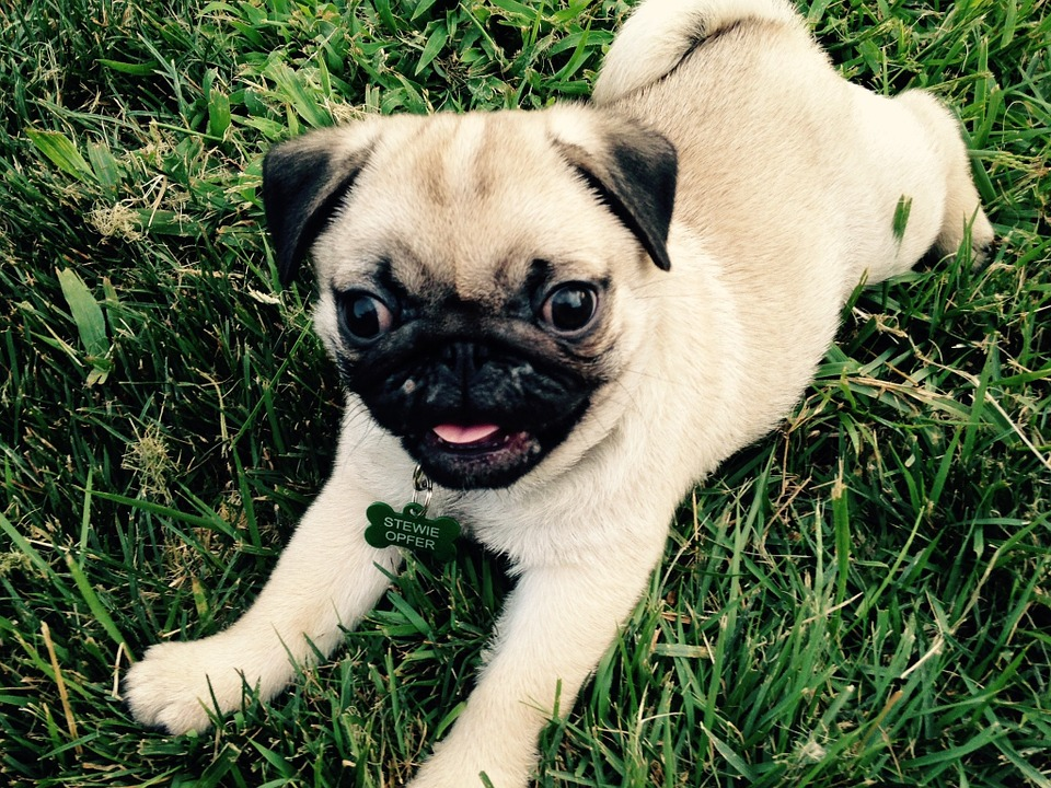 Puppy, Pug, Cute Puppy, Cute, Young, Pup, Doggy