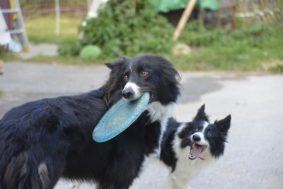 Happy, Dog, Frisbee, Pet, Fetch, Doggy