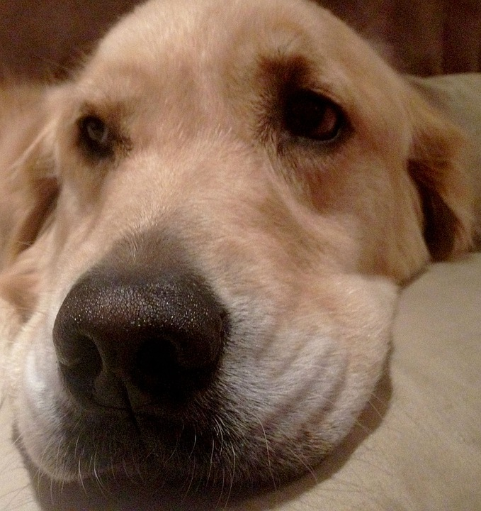 Nose, Resting, Dog, Golden Retriever, Head, Pet, Doggy
