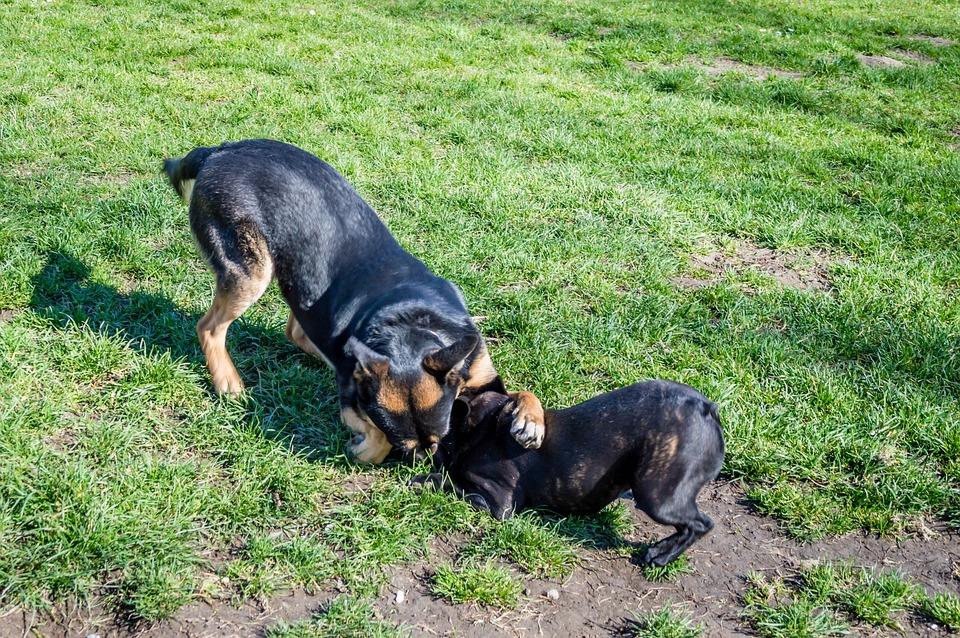 Dogs, Frolic, Grass, Black, Play, Pasture, Animal