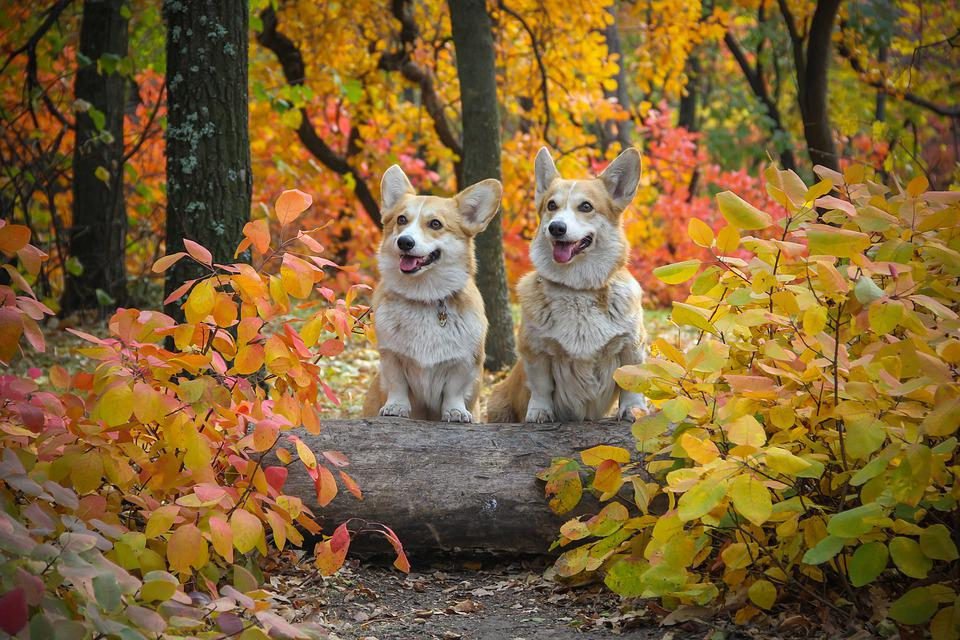 Corgi, Dogs, Log, Friendship, Autumn Leaves, Pets