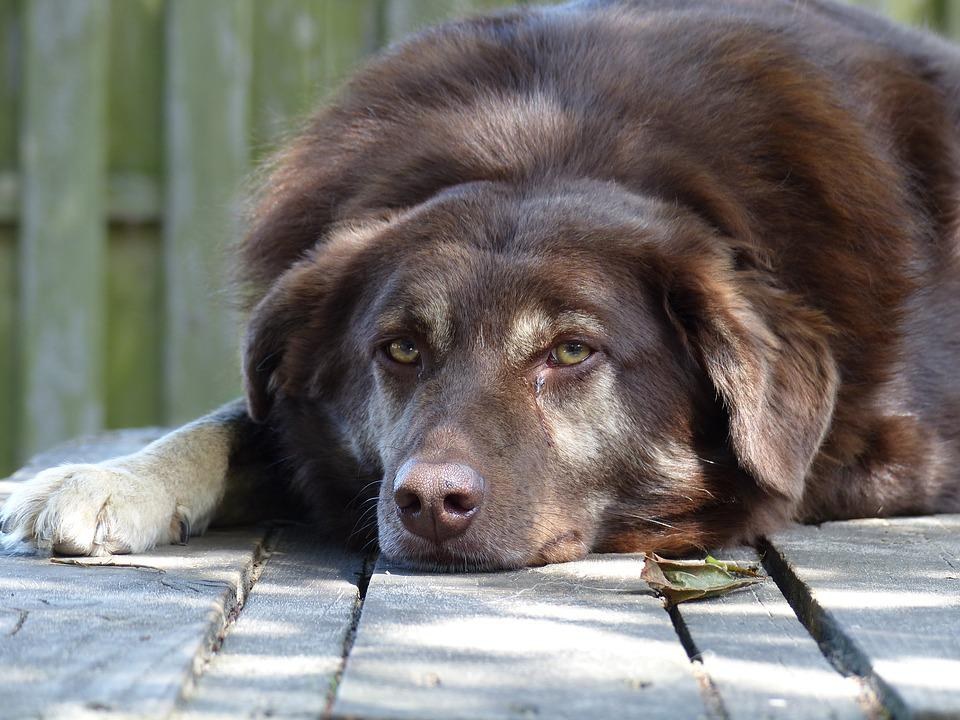Dog, Dogs, Brown, Green Eyes, Nice, Pet, Sweet, Animal