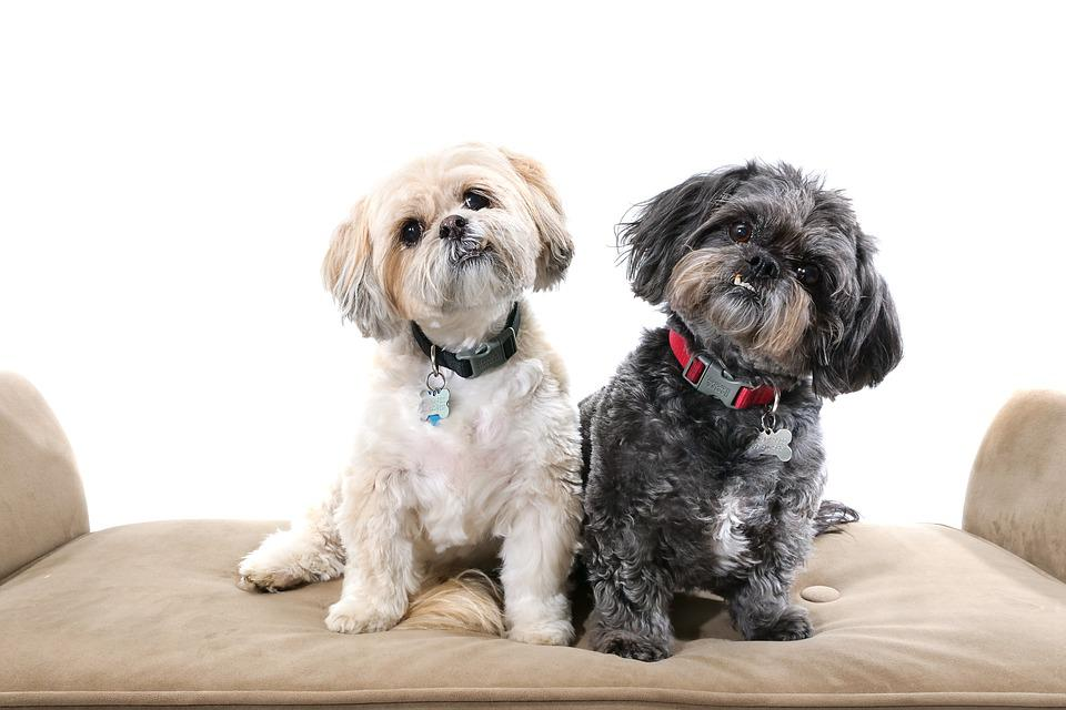 Dogs, Shihtzus, Cute, Animal, Doggy, Adorable, Pet