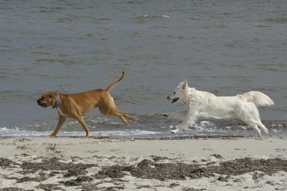 Golden Retriever, Dogs, Beach