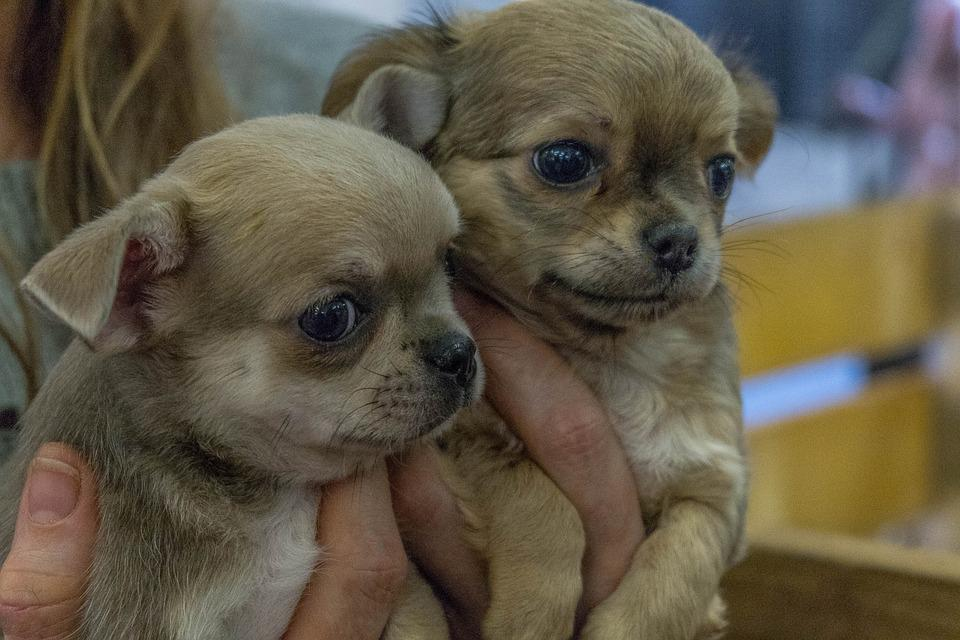Dogs, Puppies, Exhibition, Cute, View, Emotions, Smile