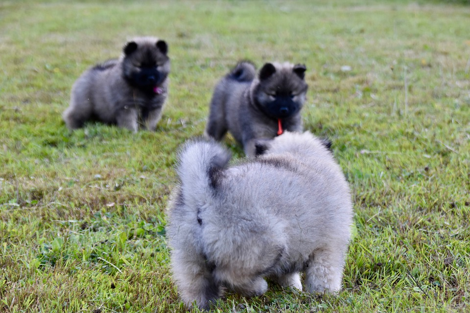 Puppies, Young Dogs, Puppies On Grass, Dog, Puppy, Dogs
