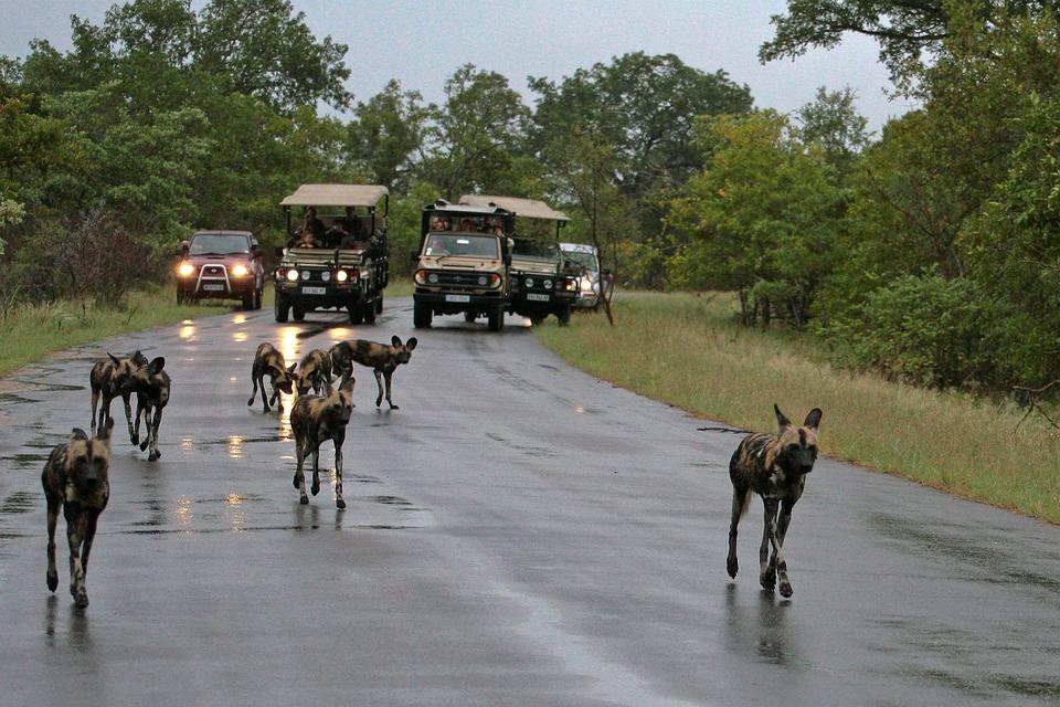 Dogs, Wild Dogs, Street, Rain, Wet, Pursued, Tourists