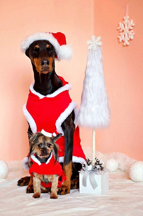 Doberman, Yorkshire Terrier, Dogs, Santa Claus