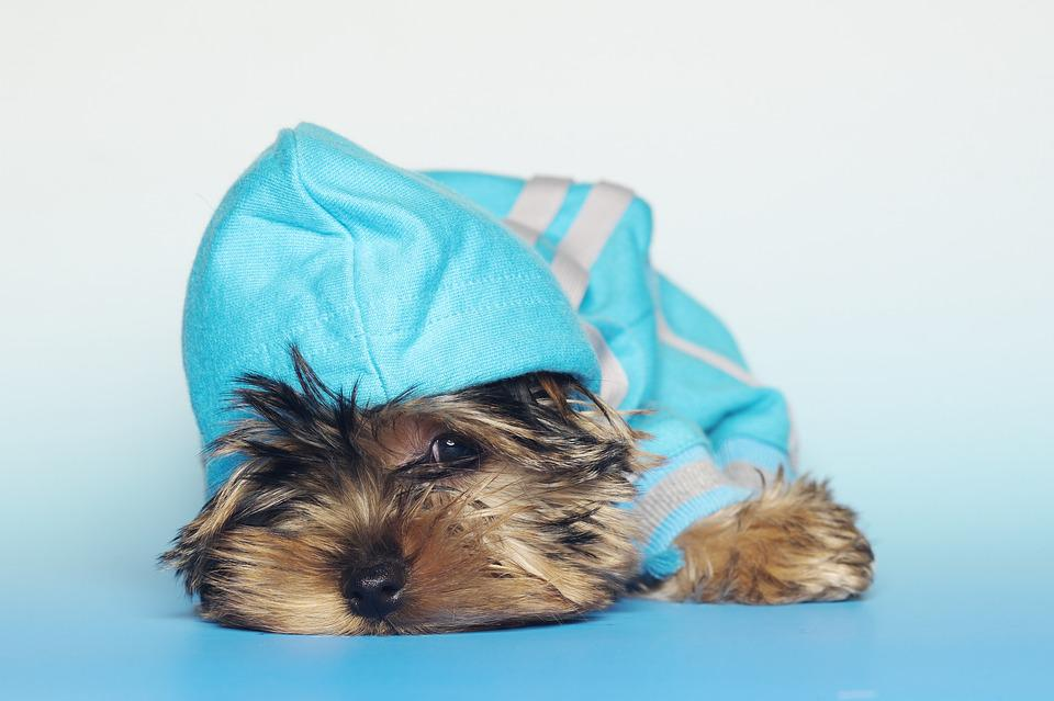 Yorkshire Terrier, Dogs, Dog, Small Dog, Darling