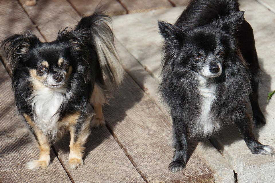 Chihuahua, Double Pack, Dogs, Pet Rudel, Curious, Sweet