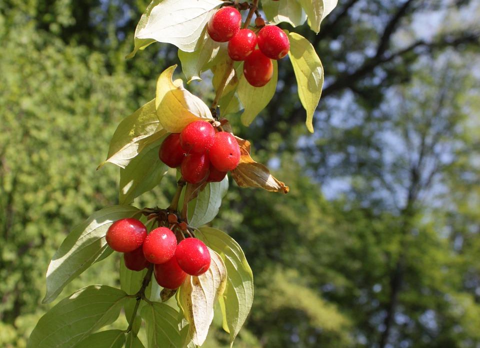 Berries, Cornel, Cornus, Dogwood, Red, Fruit