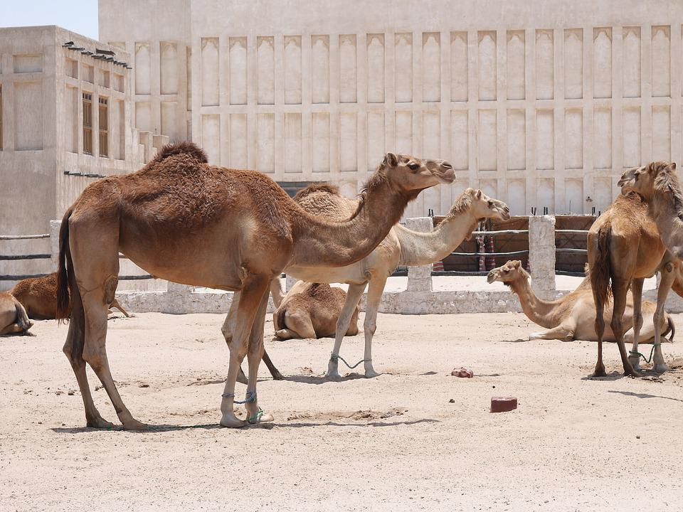 Camel, Doha, Hot, Animals, Camels, Sand