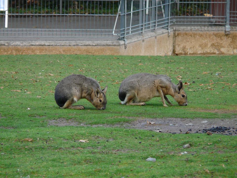 Large Mara, Rabbit, Graze, Dolichotis Patagonum