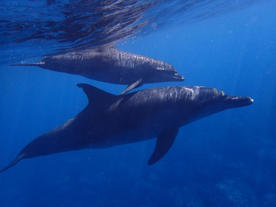 Sea, Dolphin, Blue, In Water, Diving, Animal