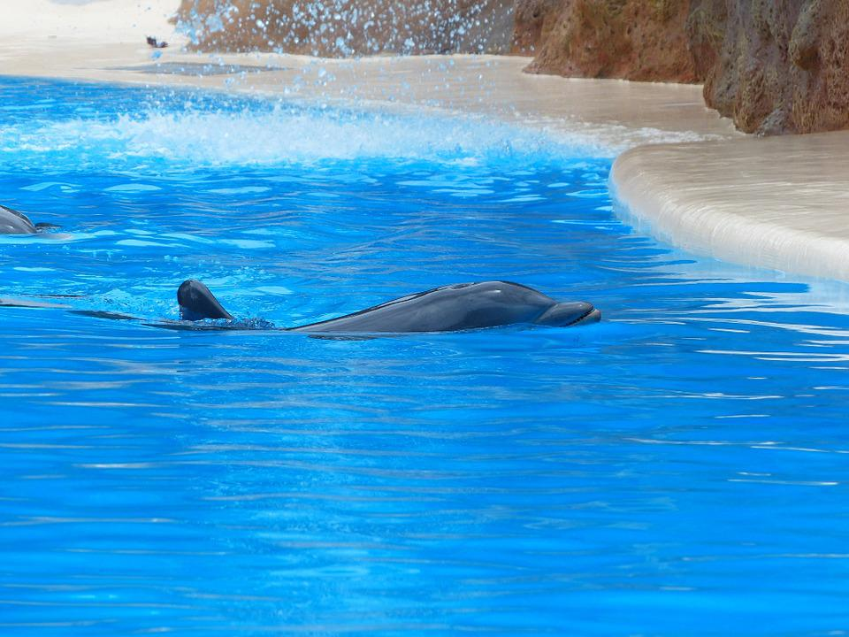 Bottlenose Dolphin, Swim, Play, Dolphin, Rest
