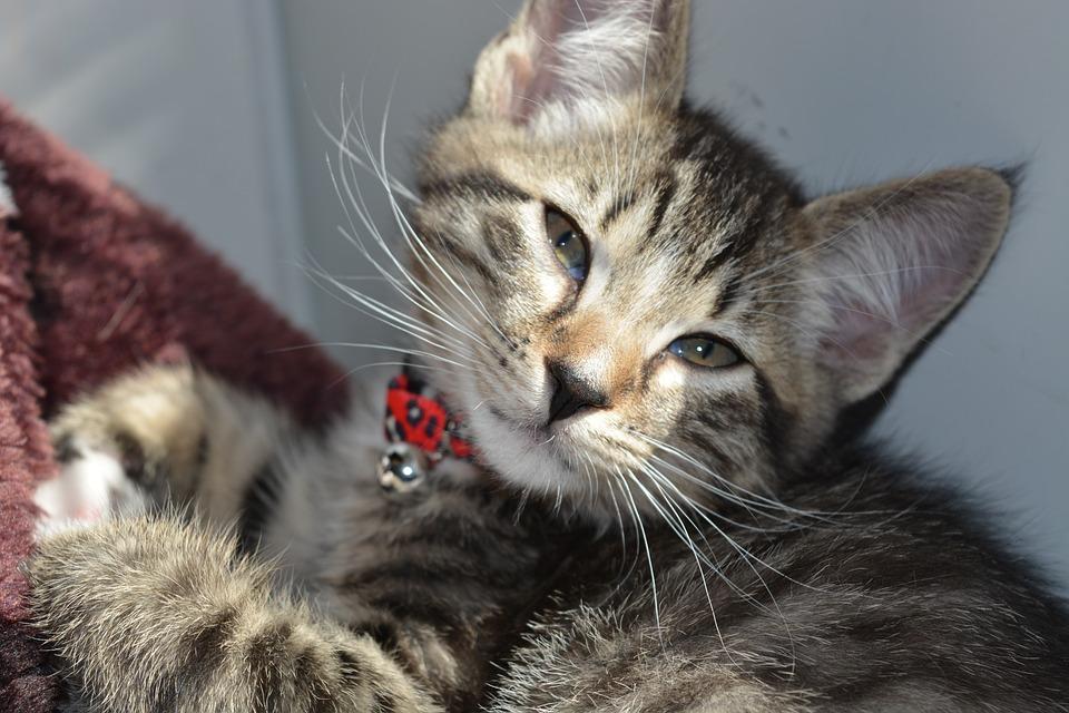 Kitten, Cute, Cat, Animal, Feline, Pet, Domestic