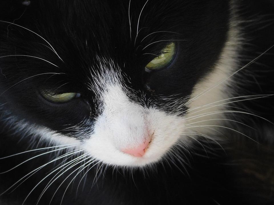 Cat, Feline, Kitten, Animal, Portrait, Domestic, Fur