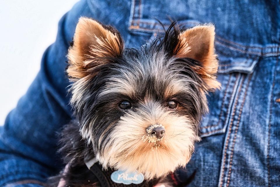 Yorkshire Terrier, Yorkie, Dog, Domestic Animal