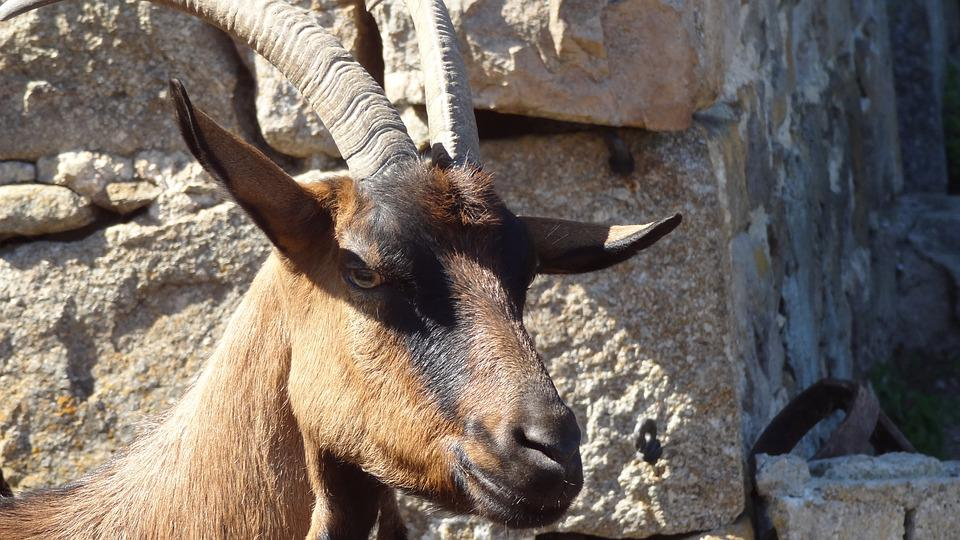 Goat, Animal Head, Domestic Animal