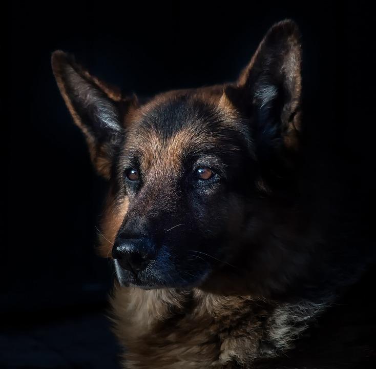 German Shepherd, Domestic Animal, Dog Head, Portrait