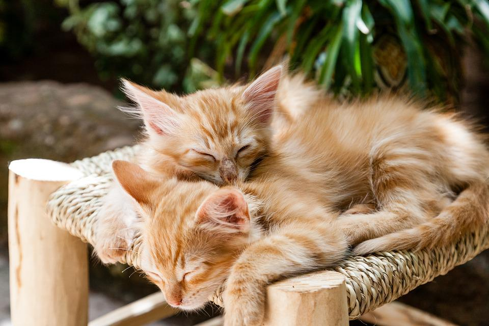 Kittens, Pets, Sleeping, Cats, Animal, Domestic, Cute