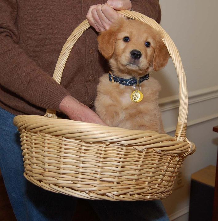Puppy, Dog, Golden, Basket, Pet, Cute, Canine, Domestic