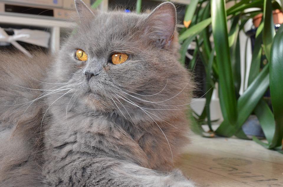 British Longhair Cat, Highlander, Adidas, Domestic Cat