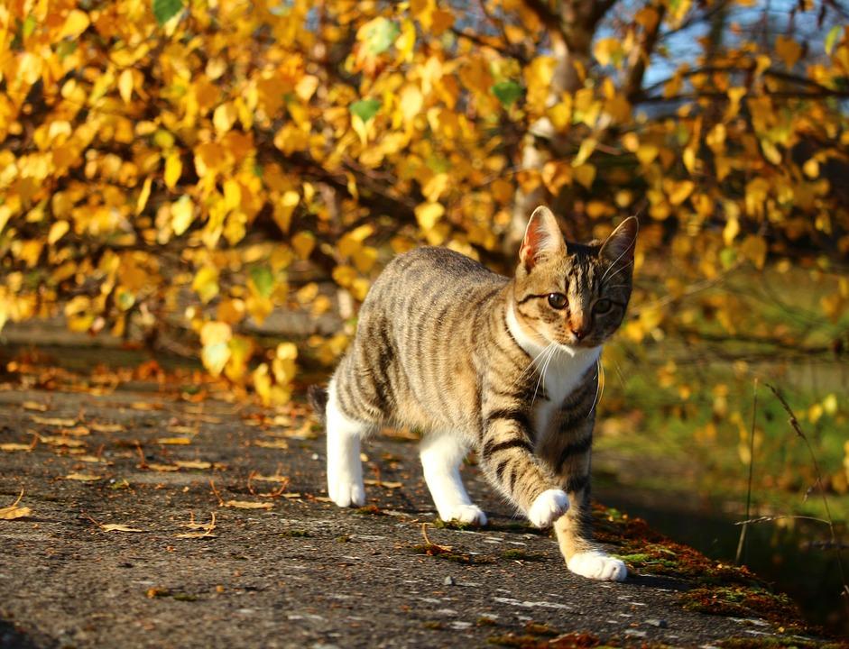 Cat, Autumn, Mackerel, Kitten, Cat Baby, Domestic Cat